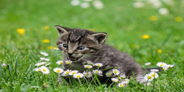 Scottish Fold Kedilerin Özel İhtiyaçları