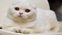 Cins Kedi Hastalıkları