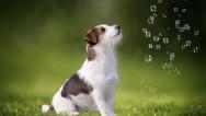 Maltese Terrier Çalışan Bir Köpek Midir?