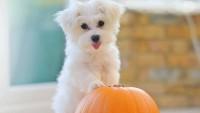 Maltese Terrier Bakımı Zor Mu?