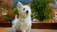 Maltese Terrier Sahiplenme Maliyeti