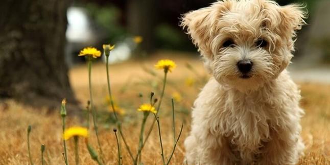 Terrier Köpek Cinsleri ve Özellikleri