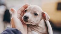 Yavru Köpek Sahiplenme: Yavru Köpeğinizin Eve Alışma Süreci