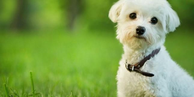 Maltese Terrier İçin Oyun Önerileri