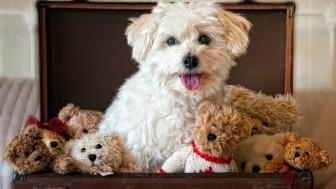 Oyuncak Ayı Suratlı ve Süs Köpeği Irkları