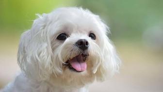 Maltese Terrier Dışarıya Hazırlık Nasıl Yapılır?