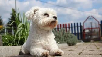 Maltese Terrier Sahibine Bağlı Kalır mı?
